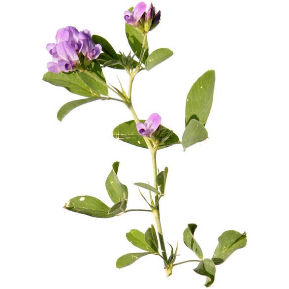 Alfalfa Juice image
