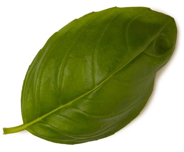 Ocimum Basilicum Herb Oil (Basilikumöl) - Bild