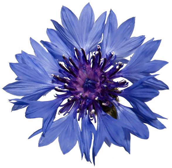 Blue Cornflowers - Image