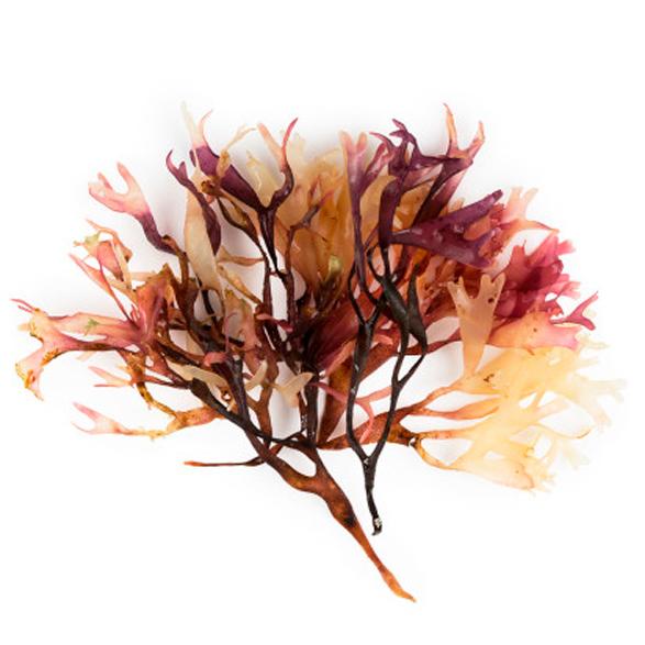 Chondrus Crispus Extract (Irisch Moos Extrakt) - Bild