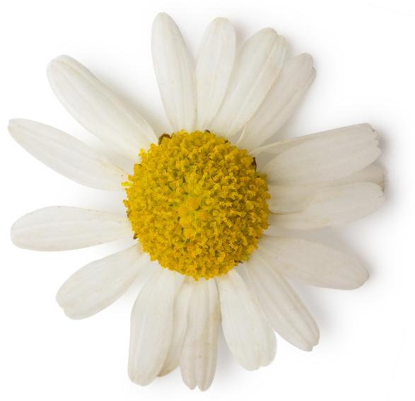 Anthemis Nobilis Flower Oil (Kamillenöl) - Bild