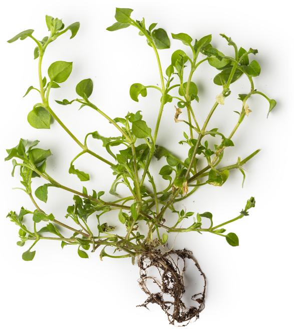 Chickweed, Chamomile and Marigold Petal Extract - Image