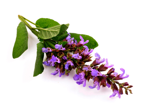 Clary Sage Oil - Image