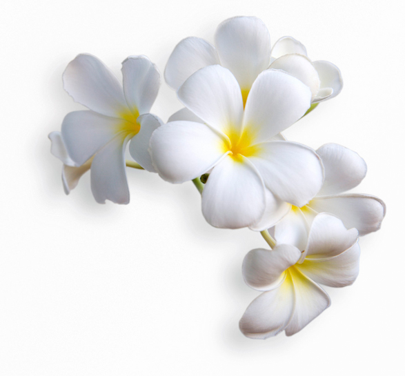 Plumeria Alba Flower Extract (Frangipani Absolue) - Bild