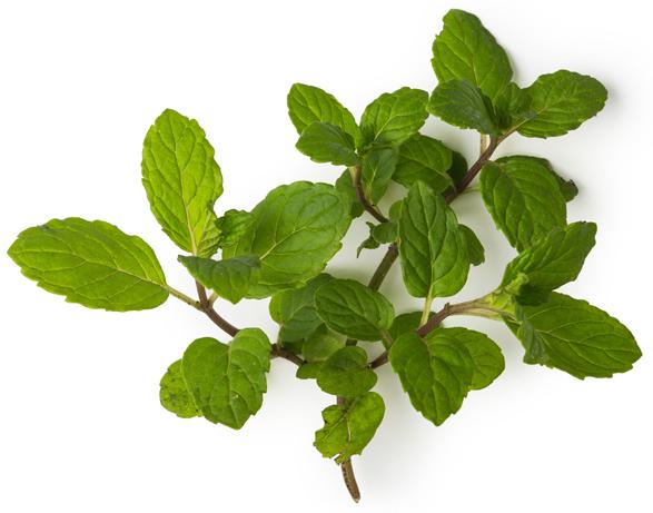 Fresh Mint Infusion - Image
