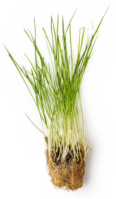 Fresh Wheatgrass Juice - Image