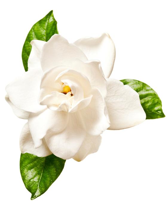 Extracto de Gardenia - Imagen