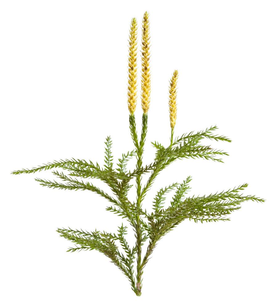 Lycopodium Powder - Image