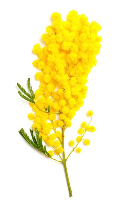 Acacia Decurrens Flower Extract (mimóza absolue) - Obrázek