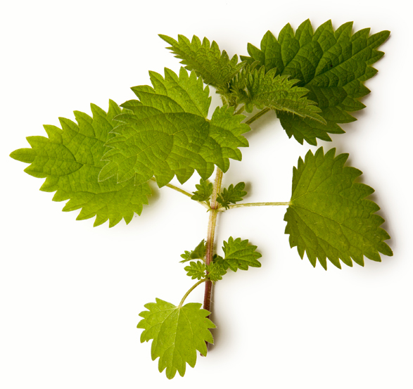 Nettle Absolute - Image