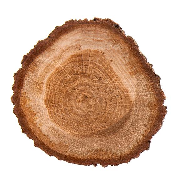 Quercus Robur Wood Extract (Stieleichen Absolue) - Bild