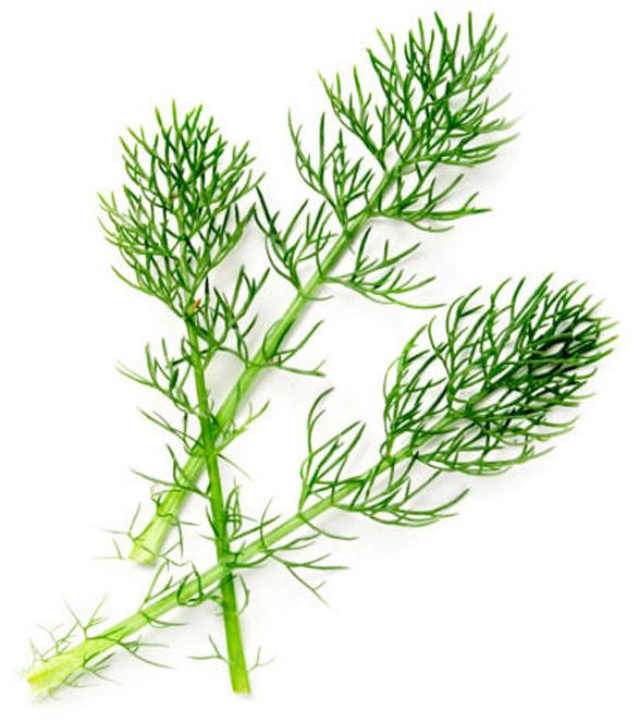Powdered Horsetail Herb - Image