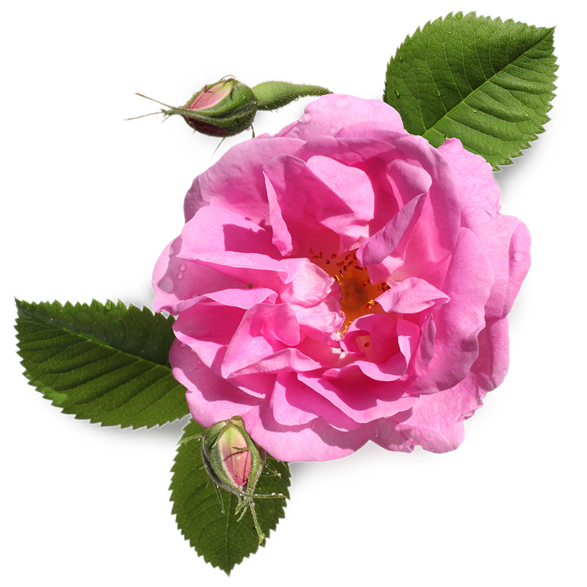 Fresh Rose Petal Infusion - Image