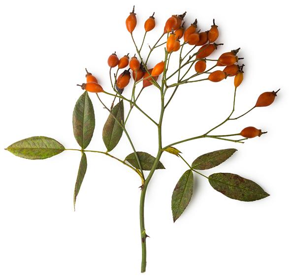 Infusion på nypon, lotus och tigerlilja - Bild