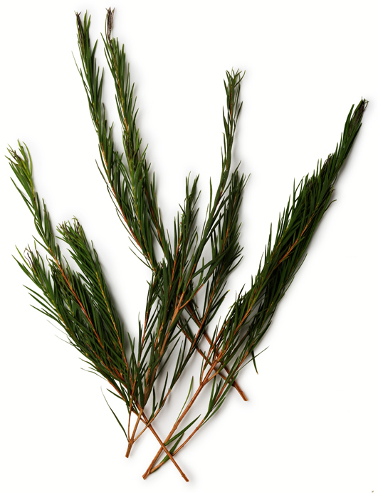Huile essentielle d'arbre à thé (Melaleuca alternifolia) - Image