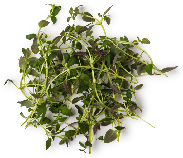 Thyme Oil - Image