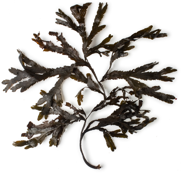Toothed Wrack Seaweed Infusion - Image