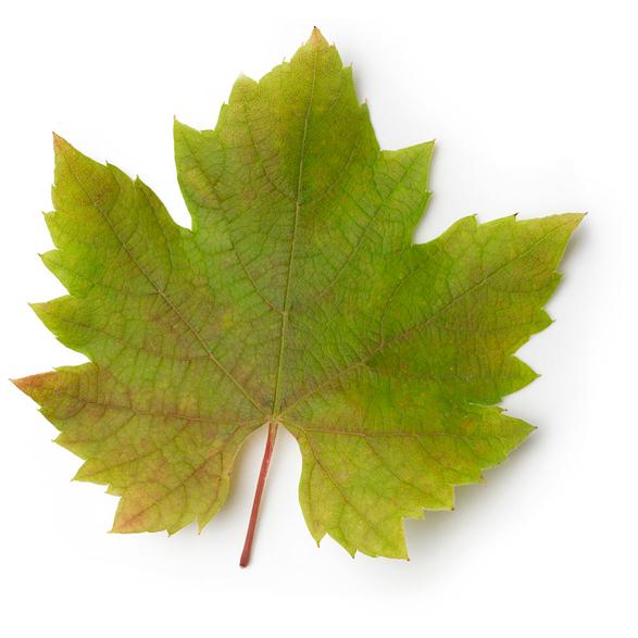 Vine Leaves - Image