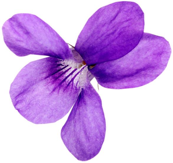 Violet Leaf Absolute - Image
