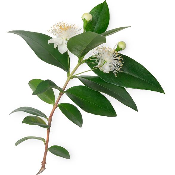 Backhousia Citriodora Leaf Oil (Myrtenöl) - Bild