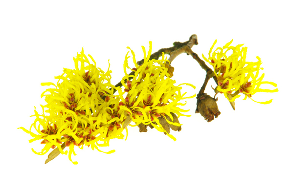 Hamamelis Virginiana Leaf Extract (Hamamelisextrakt) - Bild