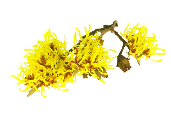 Toverhazelaarinfusie (Hamamelis virginiana) - Afbeelding