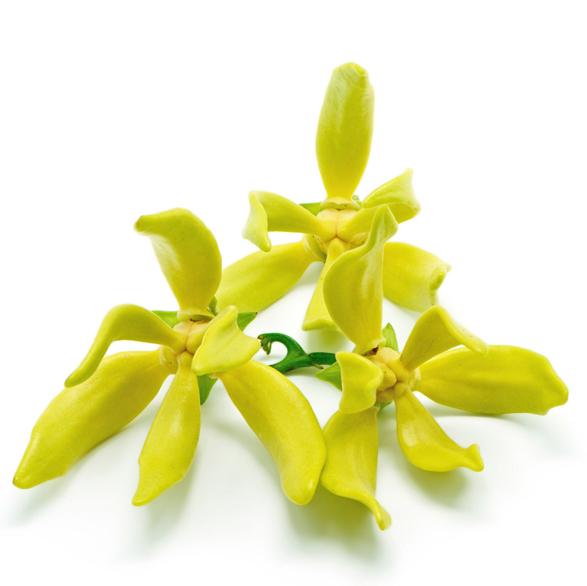 Absolue d'ylang-ylang (Cananga odorata) - Image